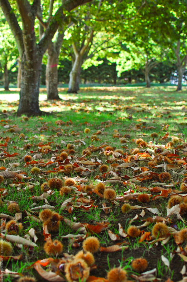 Sinemage Chestnuts On The Ground