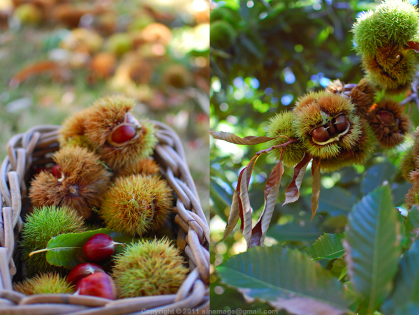 Sinemage Basket of Chestnuts and chestnuts on tree