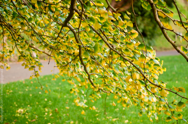Sinemage Autumn Gingko foliage