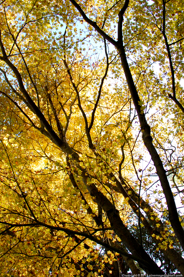 Sinemage Golden Foliage