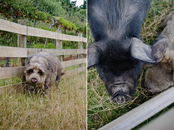Kunekune Pig | At Down Under | Viviane Perenyi