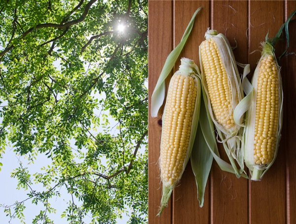 Foliage and Corn | At Down Under | Viviane Perenyi