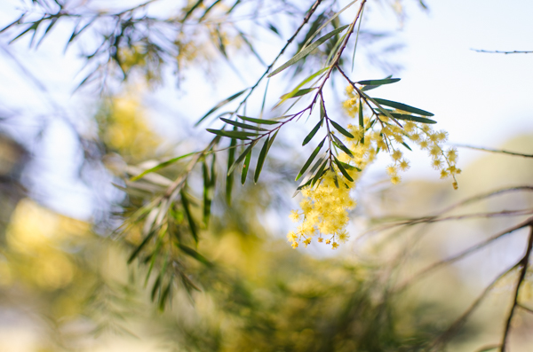 Wattle | At Down Under | Viviane Perenyi
